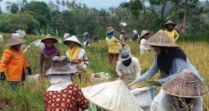 Marsiadapari, Tradisi Gotong Royong di Suku Batak Toba